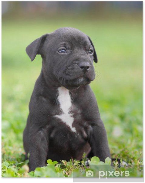Poster American Staffordshire Terrier Welpen Pixers Wir Leben Um Zu Verandern