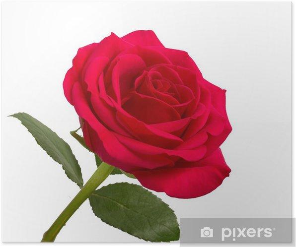 Poster Aprire Rosa Rossa Con Foglie Su Uno Sfondo Bianco Pixers