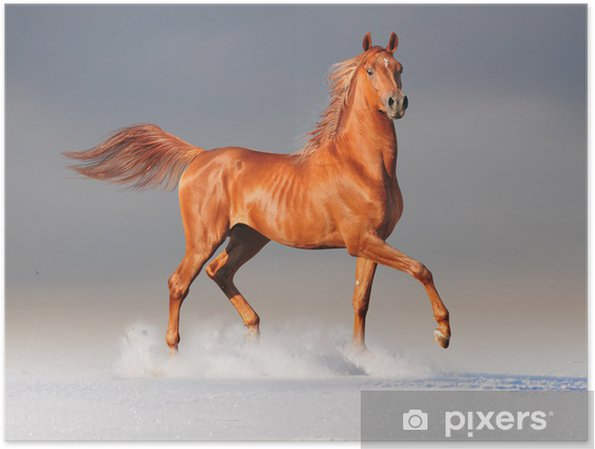 Poster Arabian horse in winter -