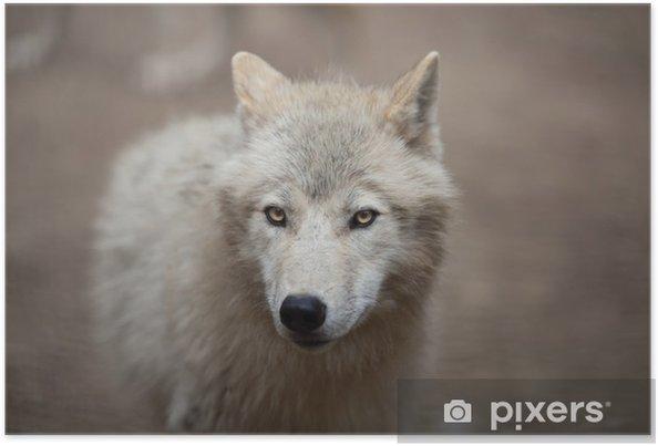 Poster arctic wolf canis lupus arctos aka lupo polare o lupo