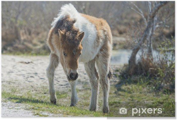 Poster Assateague Pferd Baby jungen Welpen wilden Ponys - Säugetiere