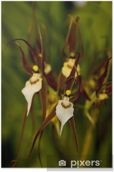 Poster Bassia Orchidee - Pflanzen