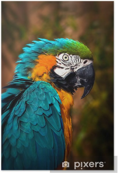 Poster Beautiful Blue and Gold Macaw - Parrot Portrait - Themen