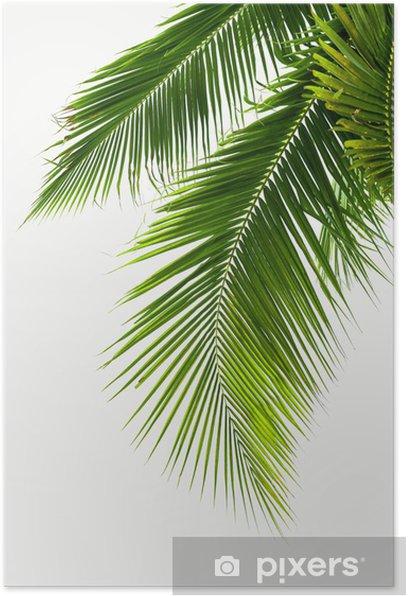 Poster Blätter der Kokospalme auf weißem Hintergrund - Bäume und Blätter
