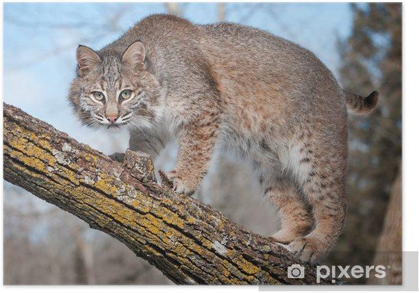 Poster Bobcat (Lynx rufus) Stare auf-Viewer von Ast - Jahreszeiten