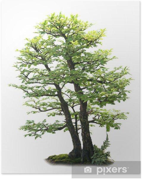 Poster Bonzai Baum auf Weiß - Haus und Garten