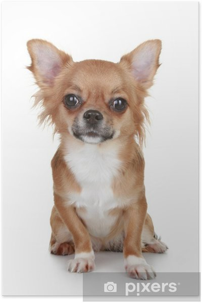 Poster Brown Cucciolo Di Chihuahua A Pelo Lungo Pixers Viviamo