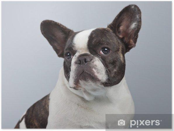 Poster Bulldog Francese In Bianco E Nero Isolato Su Sfondo Grigio