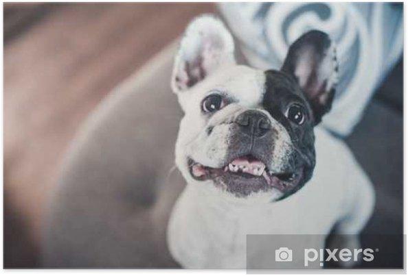 Poster Bulldog Francese Sul Divano Grigio Guardando La Telecamera