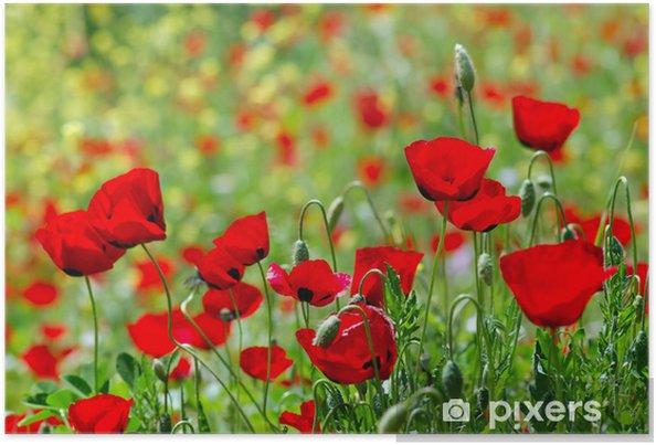 Poster Campo Di Fiori Di Papavero Fioritura Stagione Primavera Sfondo