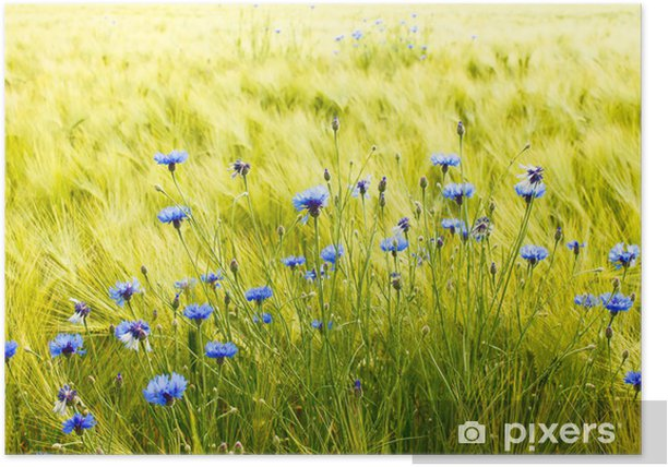 Poster Campo di grano soleggiato con fiordalisi - Agricoltura