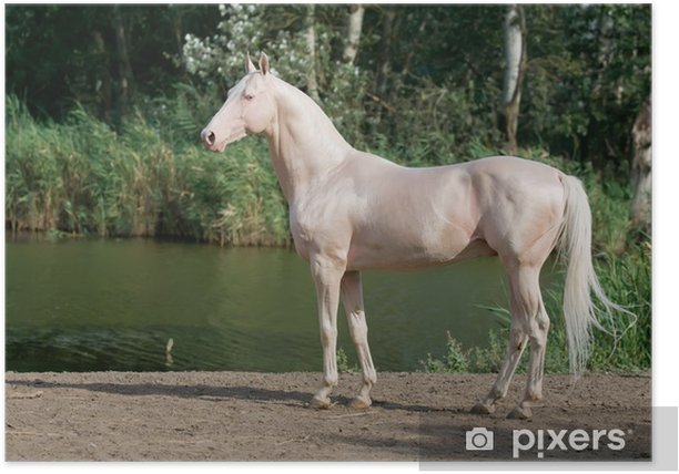 Poster Cavallo Akhal-Teke cremello Stallion ritratto - Sport individuali
