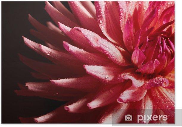 Poster Closeup di dalia rossa con gocce d'acqua - Fiori