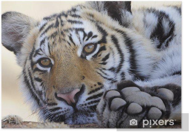 Poster Closeup Portrait Bild von einem Königstiger - Themen