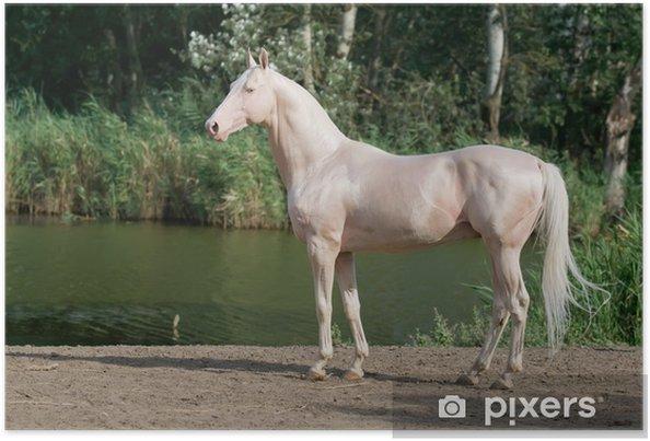 Poster Cremello Achal-Tekkiner Pferde Stallionportrait - Einzelsportarten