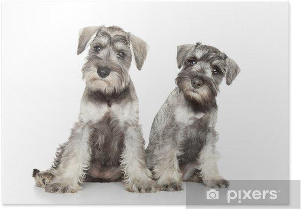 Poster Cuccioli Schnauzer miniatura su sfondo bianco - Mammiferi