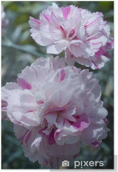"Poster Dianthus plumarius 'Baileys Feier ""(oeillet mignardise). - Blumen"