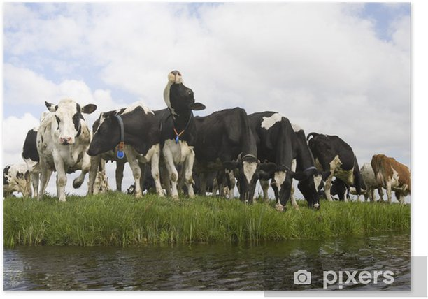 Poster Dutch cows - Säugetiere