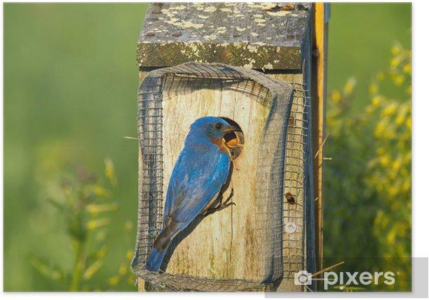 Poster Eastern Bluebird Fütterung - Vögel