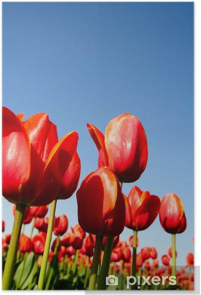 Poster Ein Feld der schönen roten Tulpen aus niedrigen Winkel Schuss - Themen
