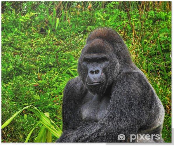 d293157b096f4 Poster Ein HDR-Bild Nahaufnahme eines männlichen Gorilla Silberrücken