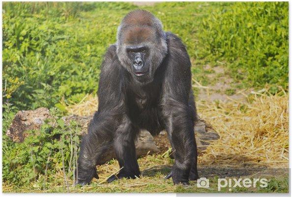 febdcc3e4605b Poster Eine westliche Tiefland Gorilla-Weibchen • Pixers® - Wir ...