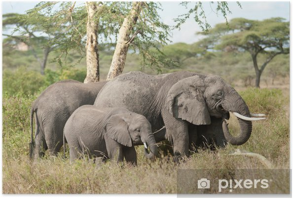 Poster Elephant family - Naturwunder