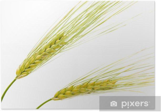 Poster Espigas de fondo blanco cebada en - Landwirtschaft
