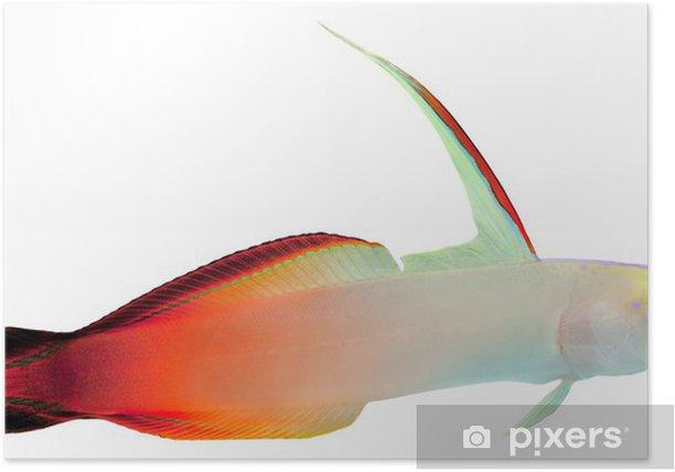 Poster Feuer-Fische (Magnificent Hover Goby) - Unterwasserwelt