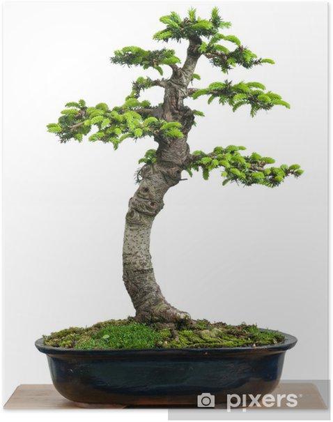 Poster Fichte (Picea orientalis) als Bonsai Baum - Haus und Garten