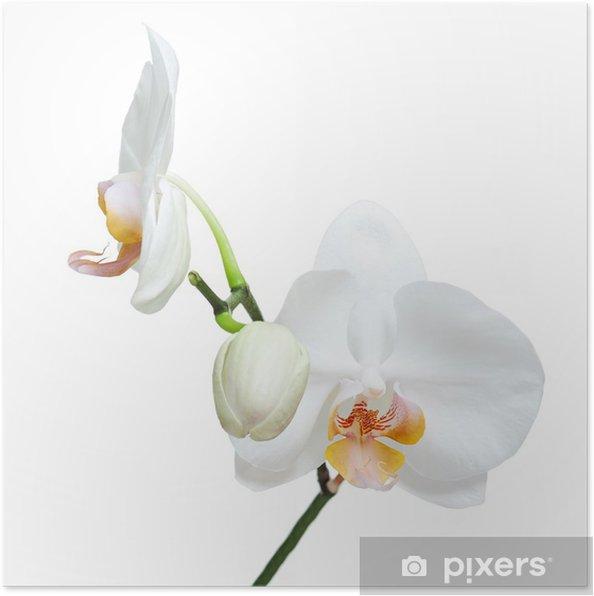 Poster Fife Tage alte weiße Orchidee isoliert auf weißem Hintergrund. - Wandtattoo