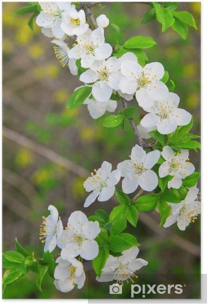 Fiori Bianchi In Primavera.Poster Fiori Bianchi Di Ciliegio Sul Ramo Albero Fiore Di