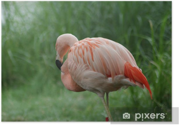 Poster Flamingo - Vögel
