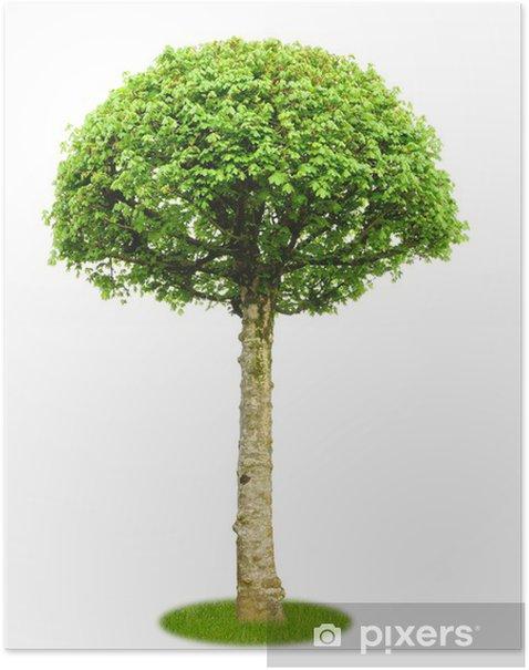 Poster Freigestellter Ahorn als Parkbaum - Jahreszeiten