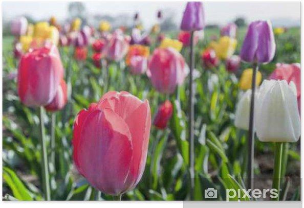 Poster Frühling Feld mit blühenden bunten Tulpen - Pflanzen und Blumen