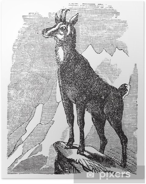 Poster Gämsen, oder Antilope rupicapra Vintage-Gravur - Vögel