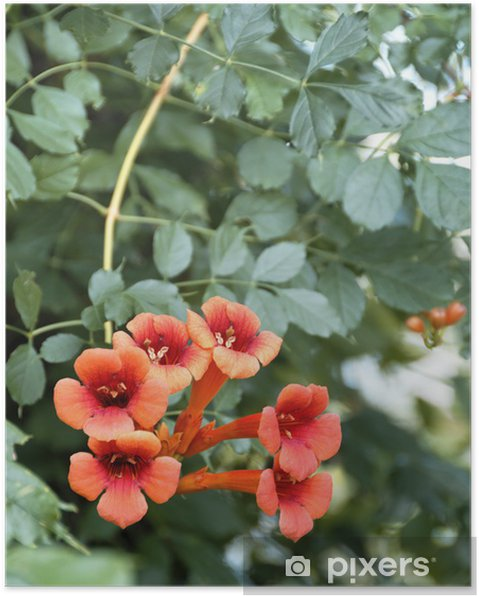 Poster Geißblatt - Pflanzen