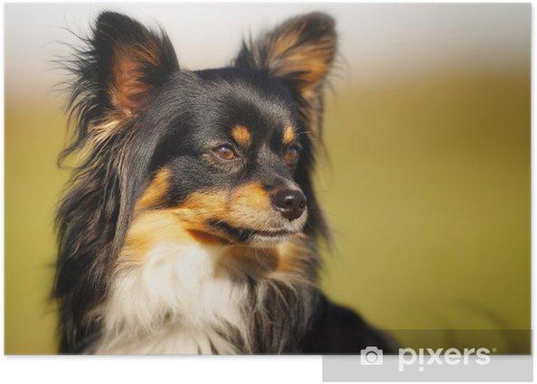 Poster Gesicht der Chihuahua - Säugetiere