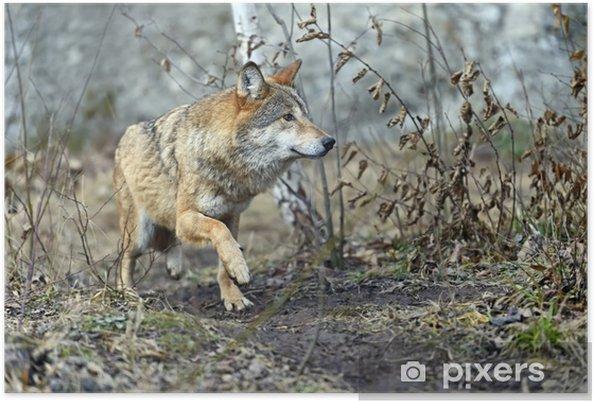 Poster Grauer Wolf im Wald - Themen