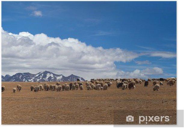 Poster Herde von Schafen in Tibet - Asien