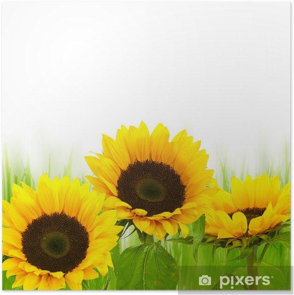 Poster Immagine Girasoli Estate Fiori Di Primavera Su Sfondo Bianco