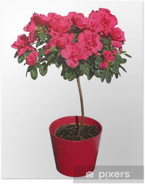 Poster Japanische Azalee - Blumen