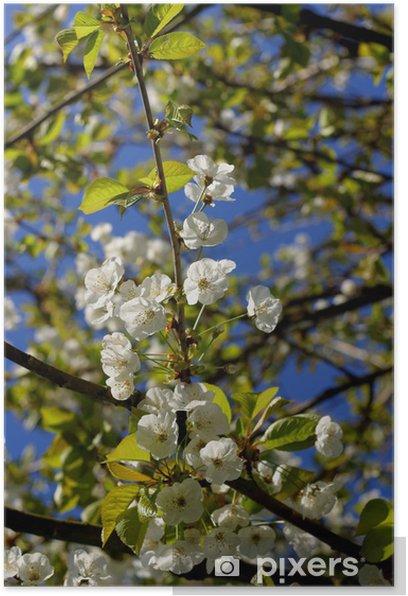 Poster Kirschblüten - Jahreszeiten