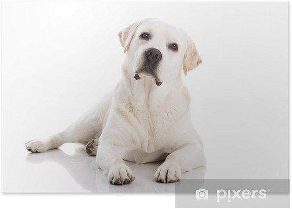 Poster Labrador-Hund auf dem Boden liegend - Säugetiere
