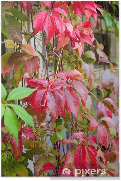Poster Leuchtende Herbstfarben Virginia Creeper Kletterpflanze mit Wind - Pflanzen