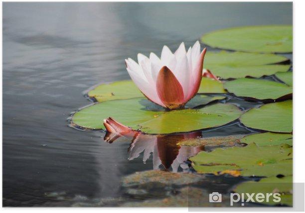 Poster Lotus Blume. Zarte Schönheit - Pflanzen