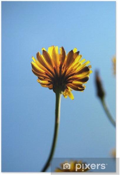 Poster Löwenzahn - Blumen