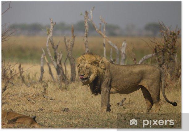 Poster Male Lion leckte sich die Lippen - Afrika