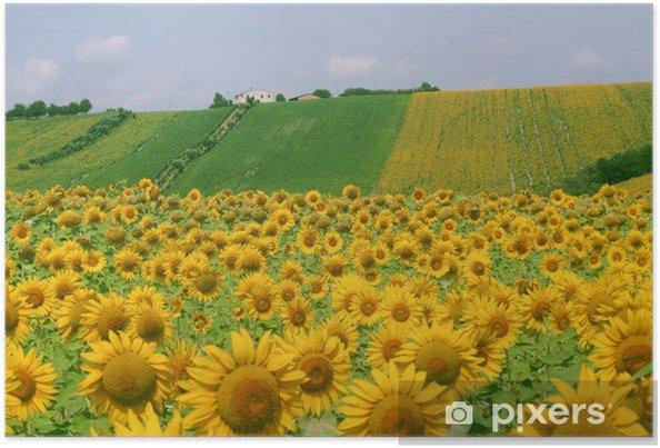 Poster Marche (Italia) - Paesaggio con girasoli in estate, in campagna