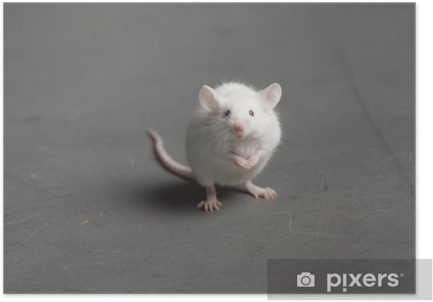 Poster Maus - Säugetiere